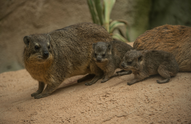 Rock hyrax triplets born at Chester Zoo (17)