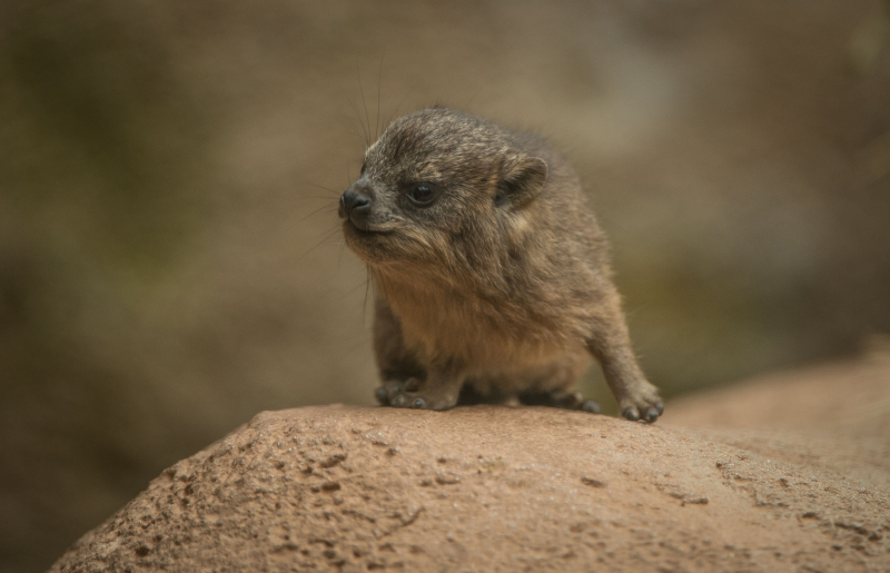 Rock hyrax triplets born at Chester Zoo (22)