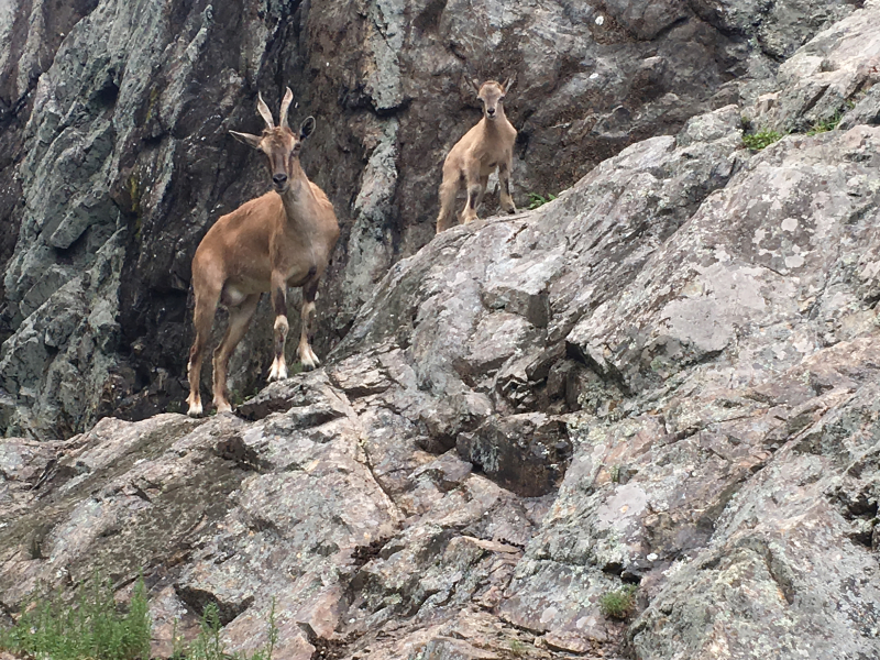 3_markhor kid on exhibit - credit Bridget Collins Lyman