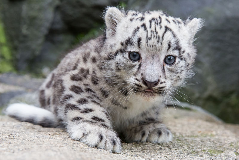 Meet Kitai the Endangered Snow Leopard Cub - ZooBorns