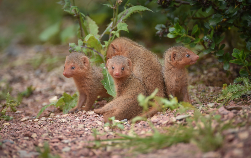 5_Fab five! Dwarf mongoose pups emerge from their den at Chester Zoo (9)