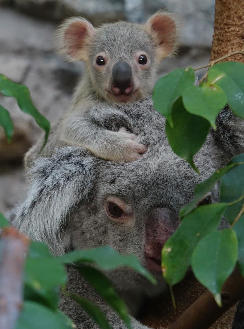 1_17_8_21_Koala_Joey_JP_4