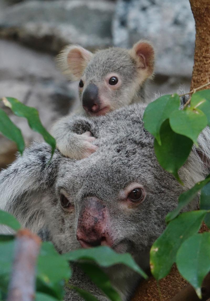 2_17_8_21_Koala_Joey_JP_5