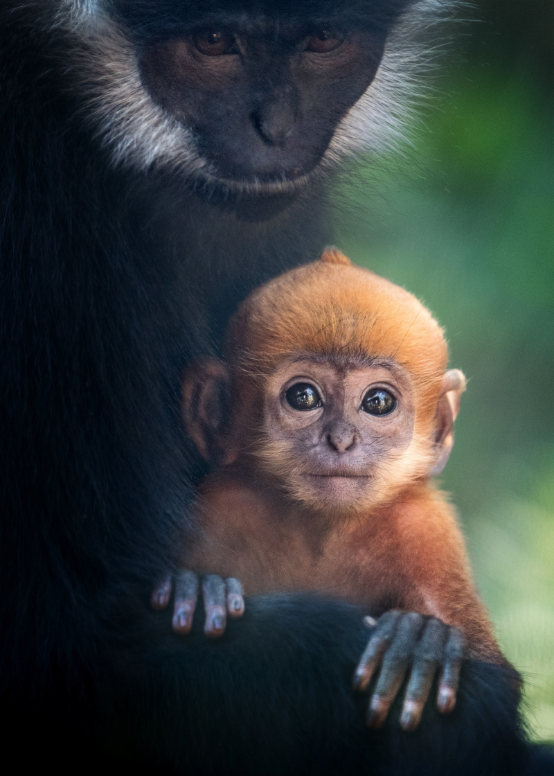 Francois Langur Mom and Baby Photo 3 of 5 by Jamie Pham