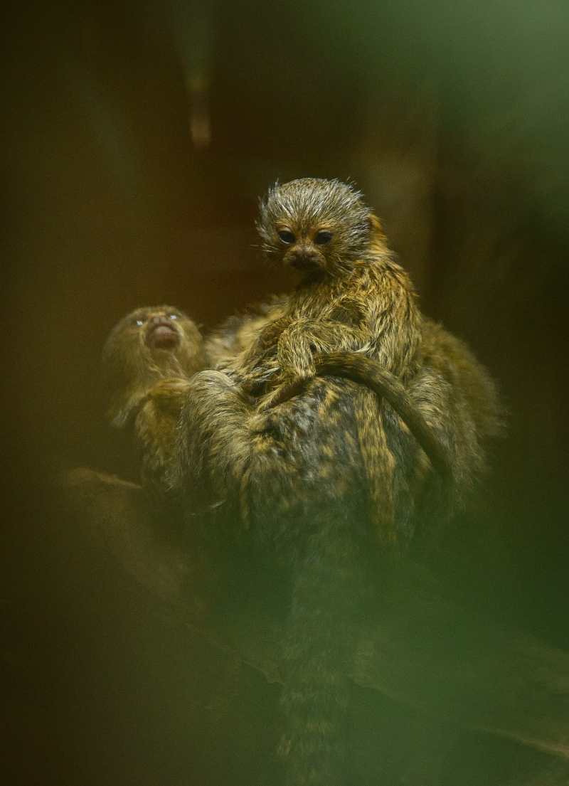 5_World's smallest monkey gives birth to tiny twins at Chester Zoo (22)
