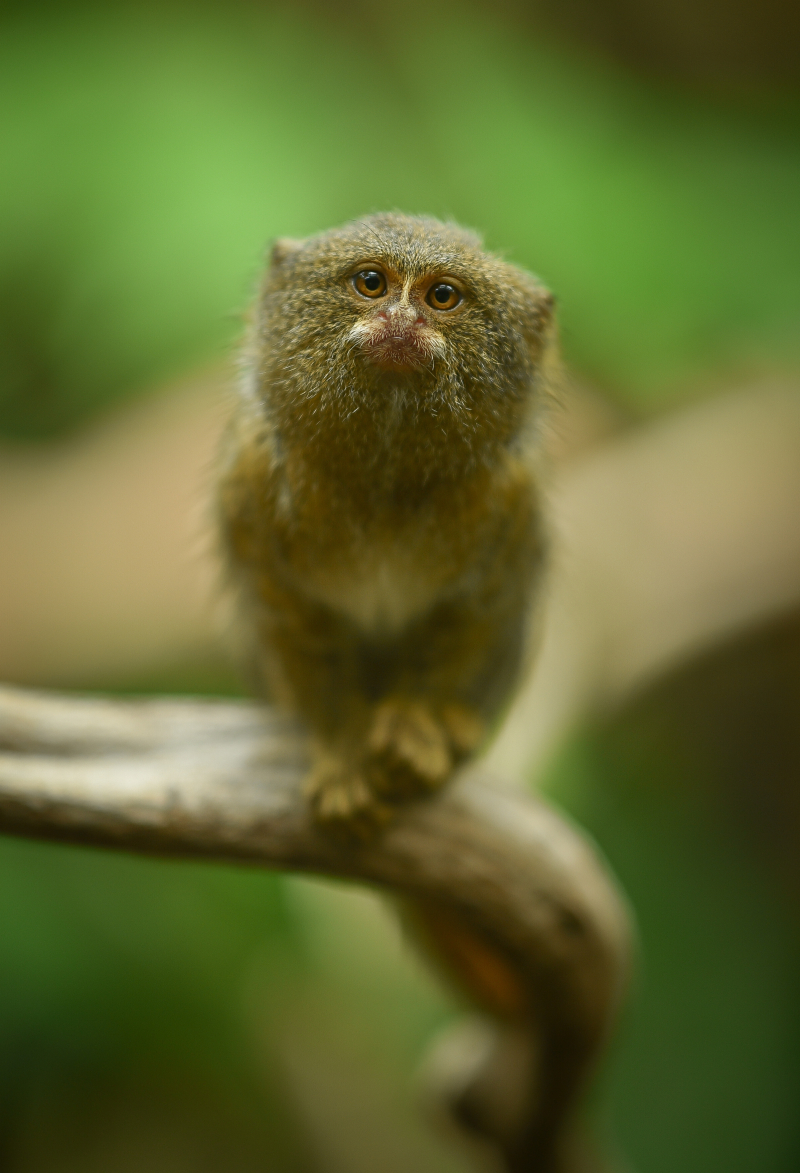 8_World's smallest monkey gives birth to tiny twins at Chester Zoo (35)