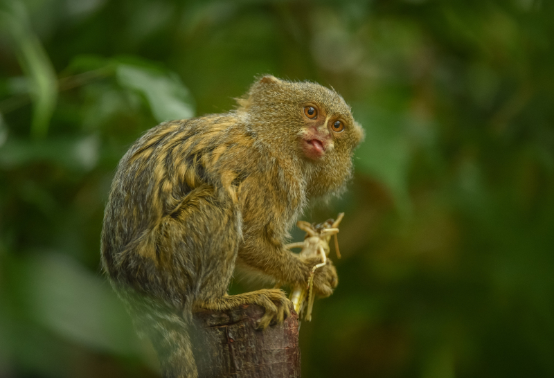 11_World's smallest monkey gives birth to tiny twins at Chester Zoo (3)