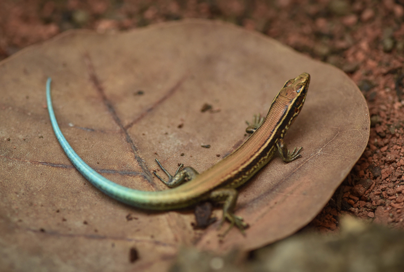 1_World first as rare Bermudian skinks hatch at Chester Zoo as part of bid to save species (10)