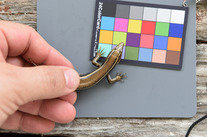 3_IN BERMUDA_Coloration study on wild Bermudian skinks (2)