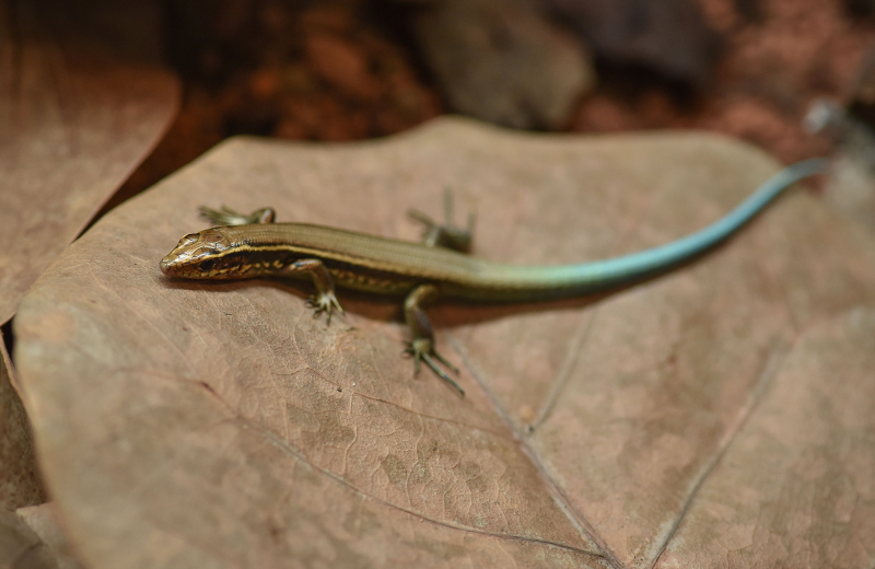 9_World first as rare Bermudian skinks hatch at Chester Zoo as part of bid to save species (12)