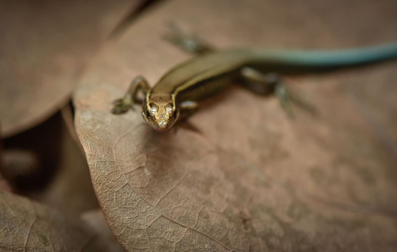 10_World first as rare Bermudian skinks hatch at Chester Zoo as part of bid to save species (13)