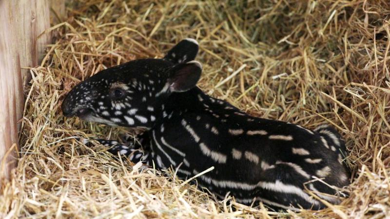RZSS Tapir calf 4
