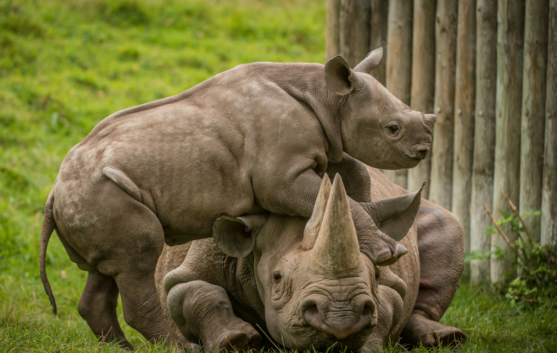 5_A two-month-old baby rhino  named Ike  tries to get the attention of his mum Zuri in the most adorable way at Chester Zoo (27)