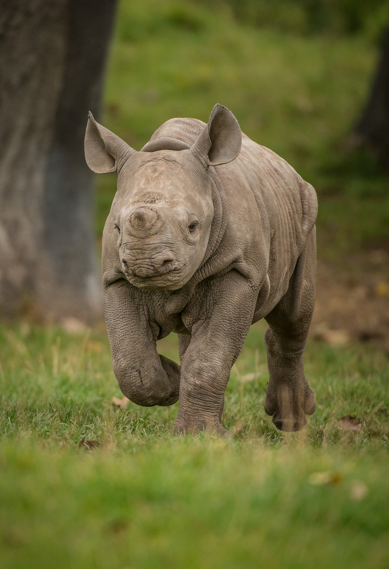 9_Adorable two-month-old rhino calf  Ike  at Chester Zoo (8)