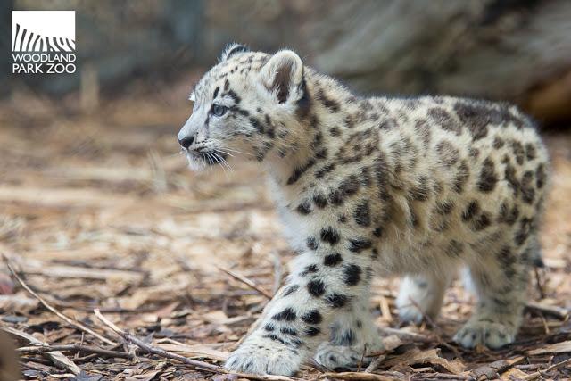2017_09_19 Aibek snow leopard 900-7wm