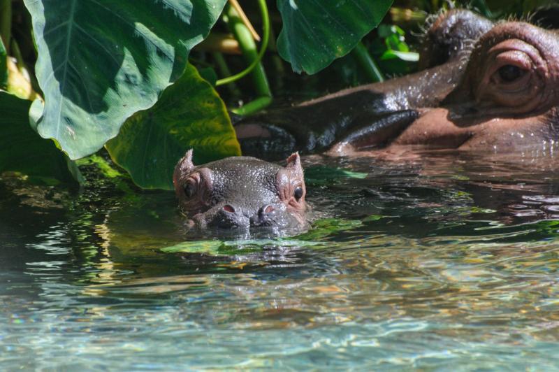 2_SDZ Hippo calf