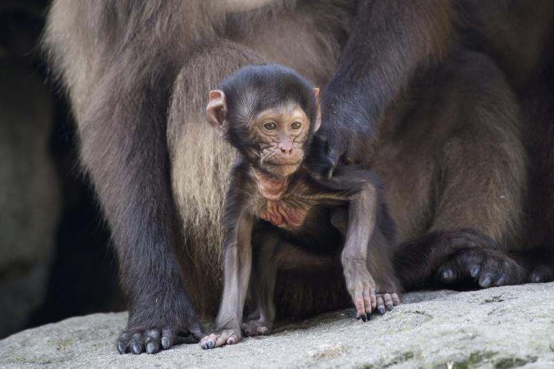 3_Julie Larsen Maher_2236_Gelada Baboon and Baby_AFP_BZ_09 25 17