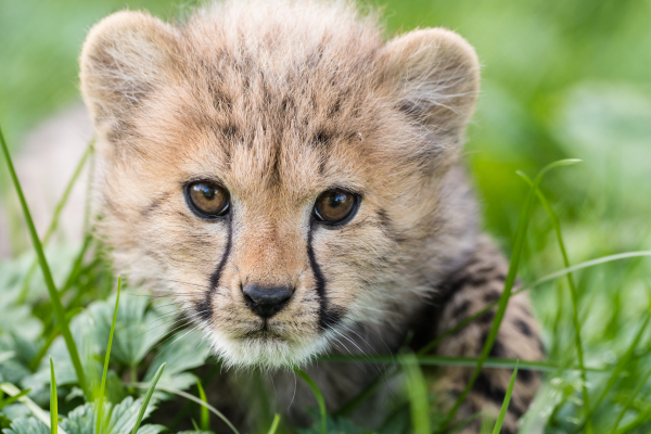 Cheetah Cubs Born at Basel Zoo