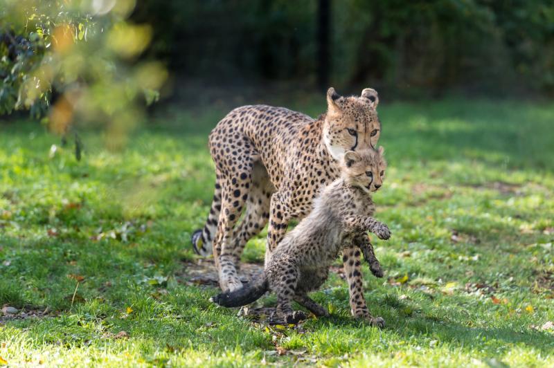 Geparden_mit_jungtieren_ZOB7307