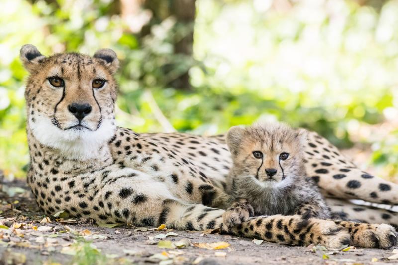 Geparden_mit_jungtieren_ZO55477