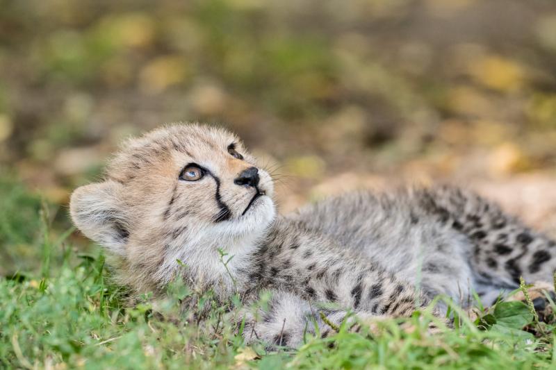 Geparden_mit_jungtieren_ZO55585