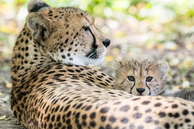 Geparden_mit_jungtieren_ZO55717