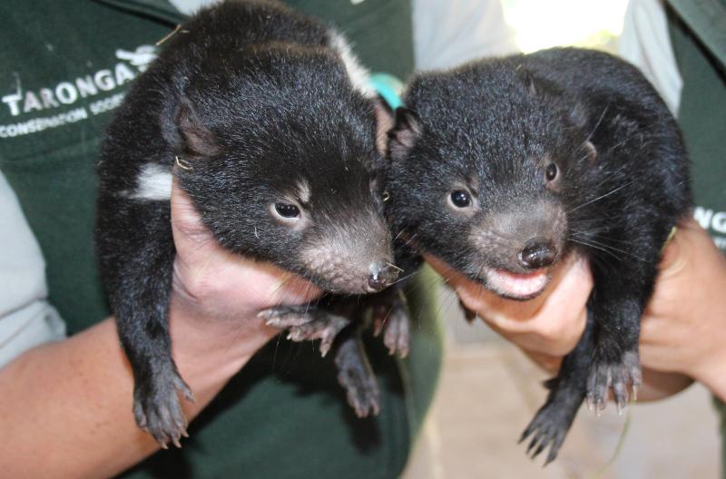 2 - Tasmanian Devil Joeys