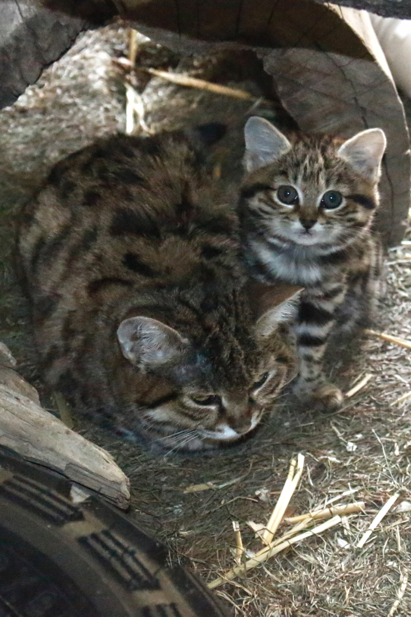 Black-Footed Cat - ZooBorns
