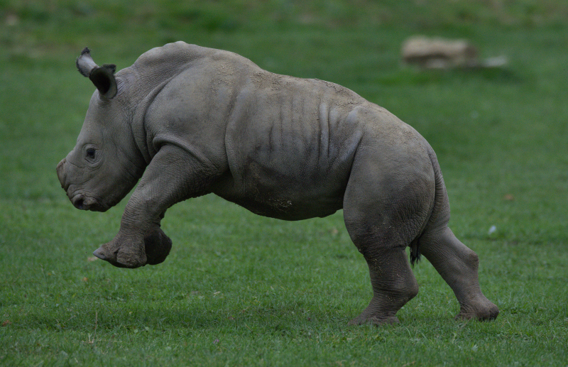 12_Rhino baby Alan running around paddock (photo credit Jackie Thomas) (3a)