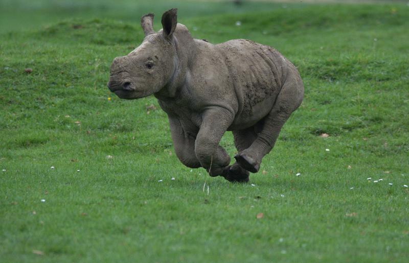 13_Rhino baby Alan various (photo credit Jackie Thomas) (11)