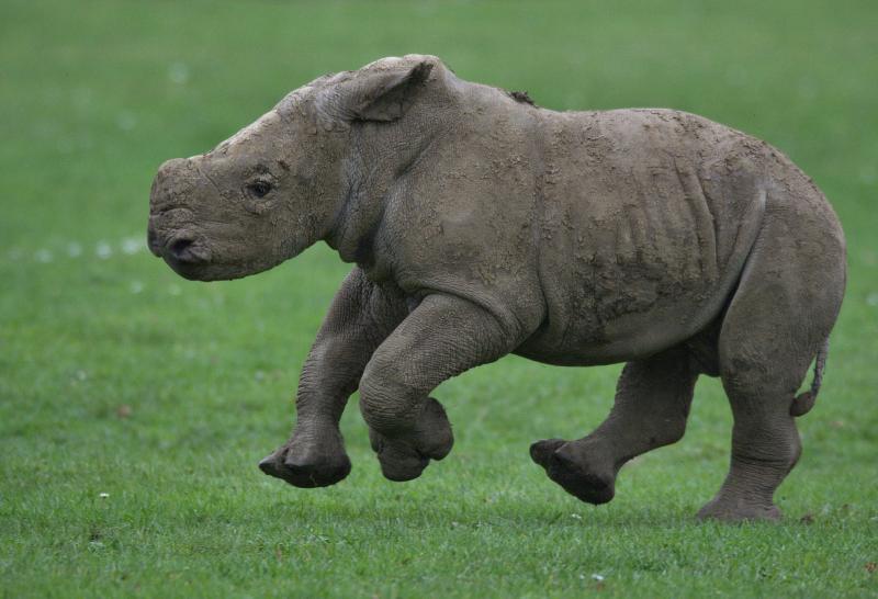 14_Rhino baby Alan various (photo credit Jackie Thomas) (12)