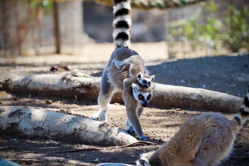 1_Ring-tailed Lemur Altina WP DP 3