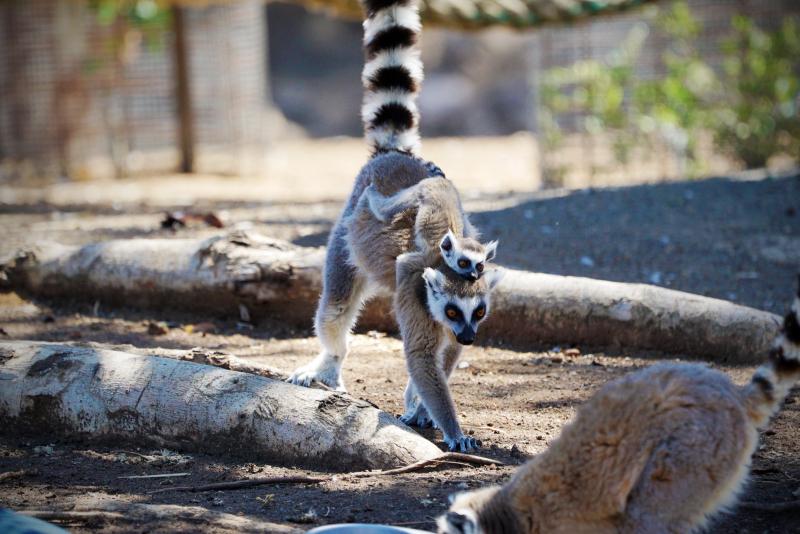 1_Ring-tailed Lemur Altina WP DP 3