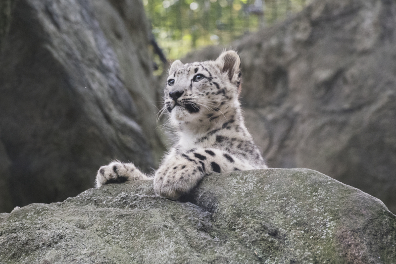 _Julie Larsen Maher_7379_Snow Leopard and Cub_HIM BZ_10 10 17