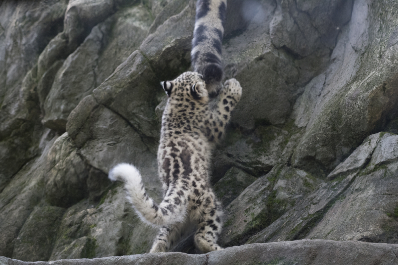 Julie Larsen Maher_7636_Snow Leopard Cub_HIM_BZ_09 07 17