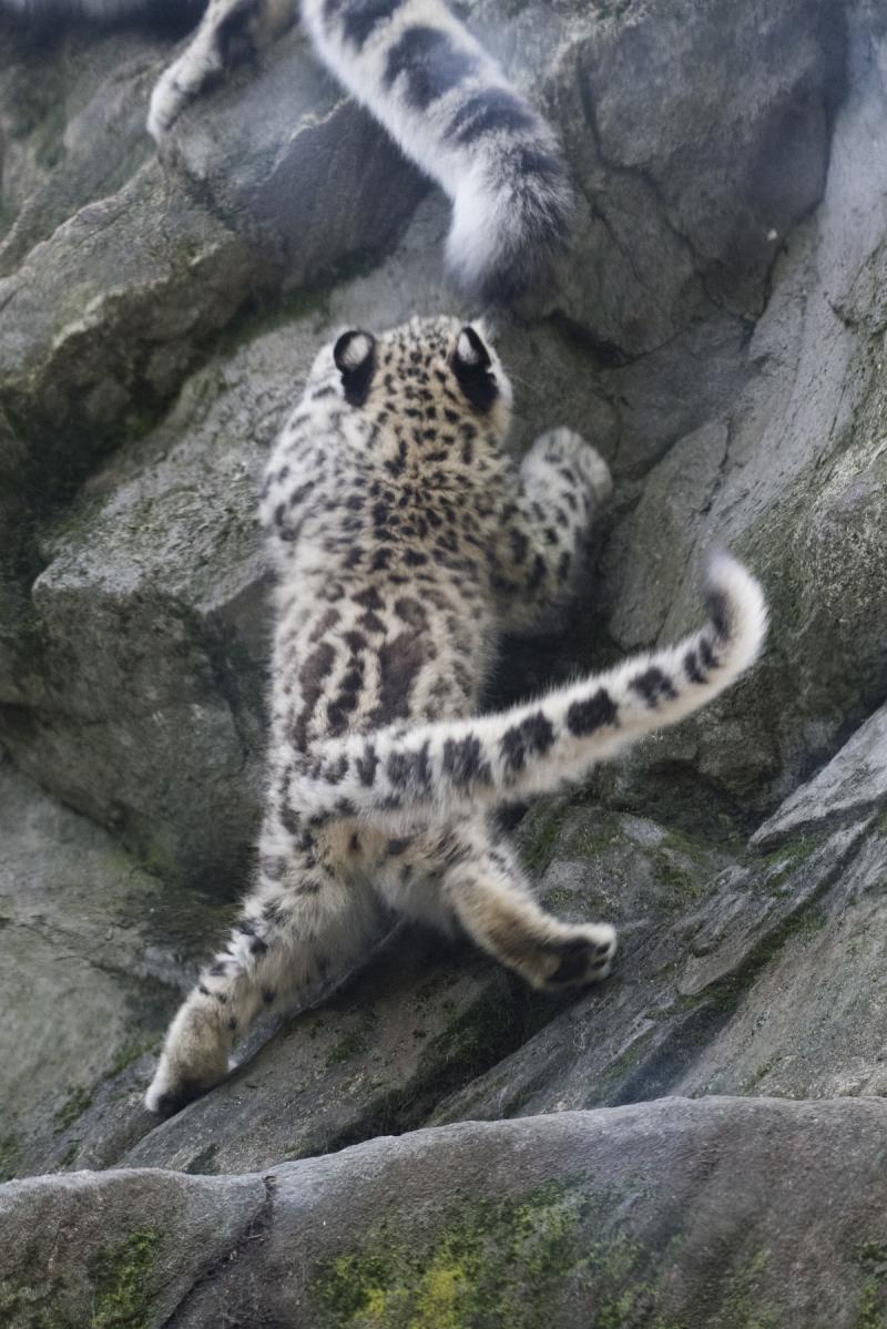 Julie Larsen Maher_7669_Snow Leopard Cub_HIM_BZ_09 07 17