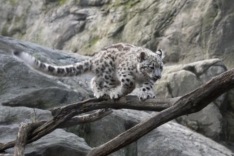 Julie Larsen Maher_7779_Snow Leopard Cub_HIM_BZ_09 07 17