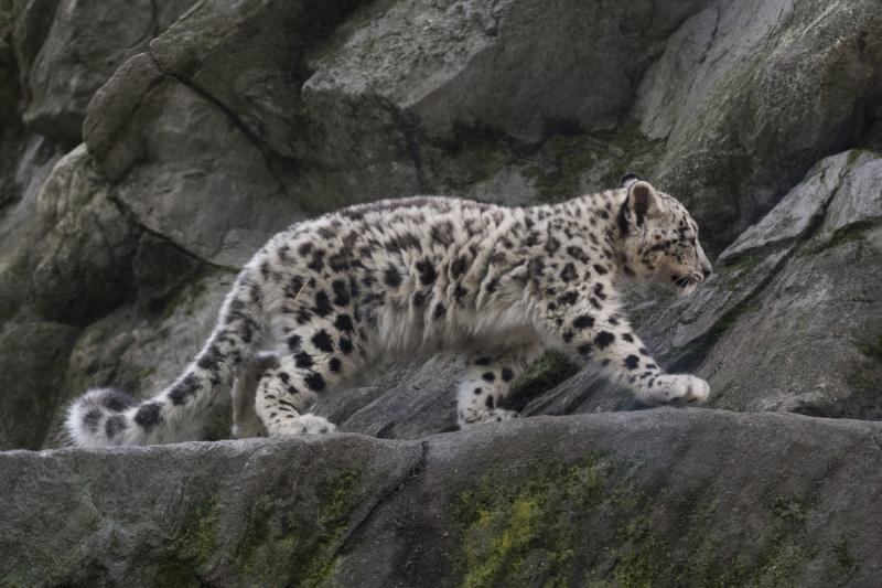 Julie Larsen Maher_7608_Snow Leopard Cub_HIM_BZ_09 07 17