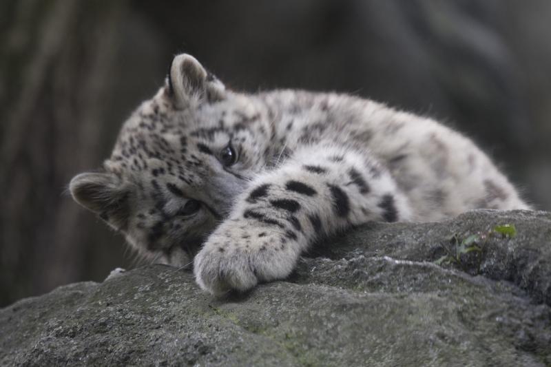Julie Larsen Maher_7507_Snow Leopard Cub_HIM_BZ_09 07 17