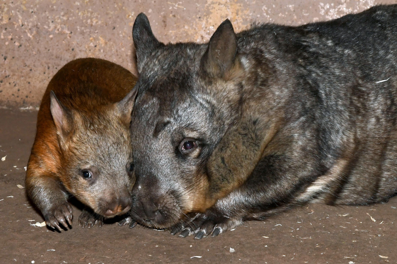 DSC_4565-(10-17)-wombat