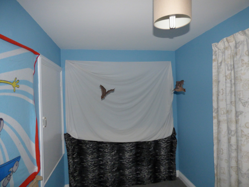 9_Bat baby flying lessons in Natalie's spare room  (3)