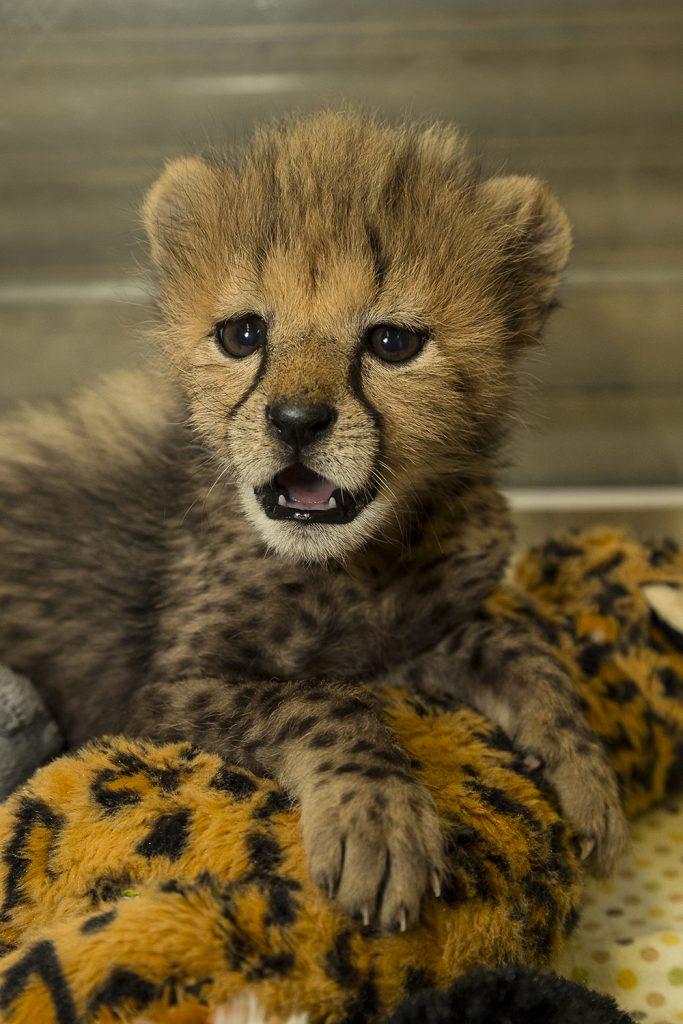 Cheetah_002_Med-683x1024