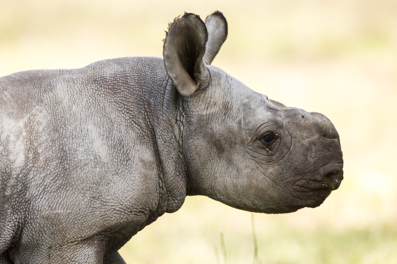 2 - Black Rhino calf