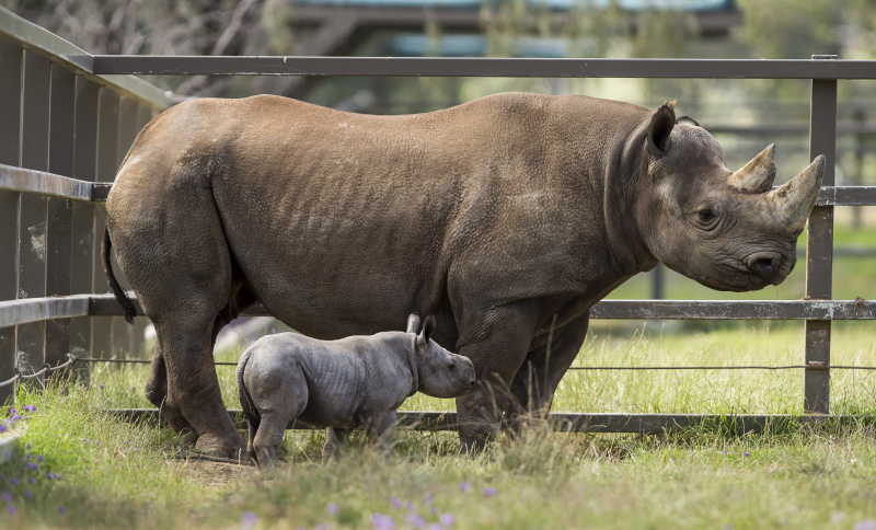 4 - Black Rhino calf with mother Bakhita