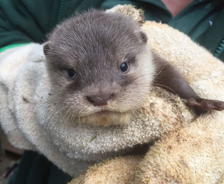 Otter-pup-1_715x589