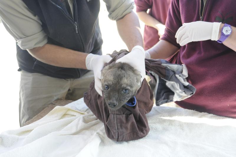 3_Monarto Zoo Spotted Hyena cubs health check  credit Geoff Brooks  Zoos SA (18)
