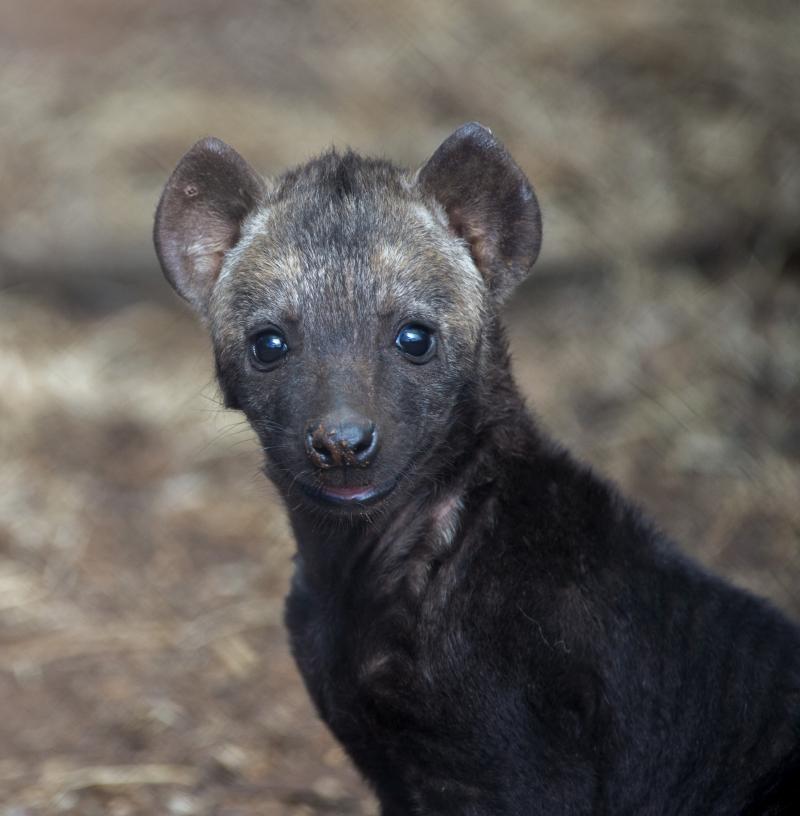 1_Hyena Cub 2 12th Nov 2017 - credit Adrian Mann  Zoos SA (1)