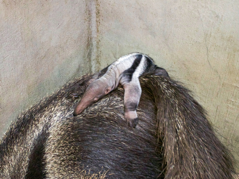 Anteater - ZooBorns