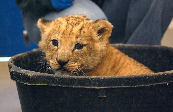 3_Virginia Zoo Lion Cub