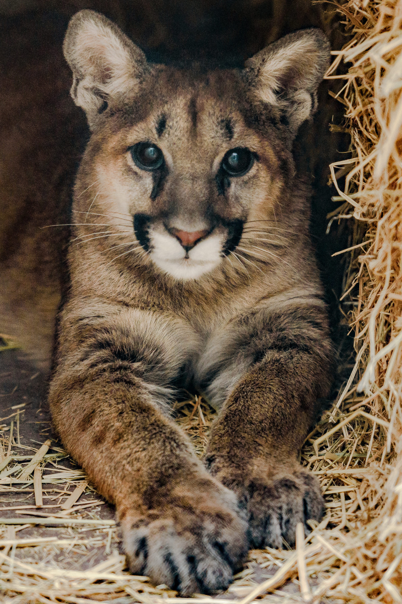 2_Mountain Lion Cub 20171211 -5